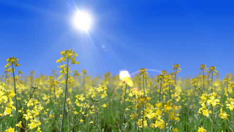 Go through the canola flower field, loop _ blue sky and sun Videos animados