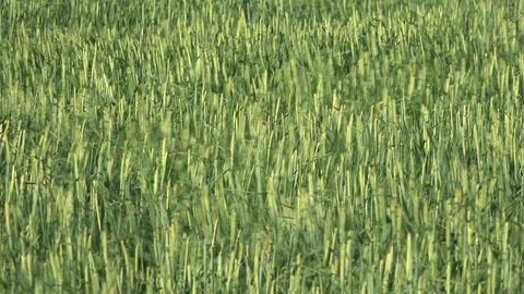 Wheat field blowing in wind green 4K 008 Footage