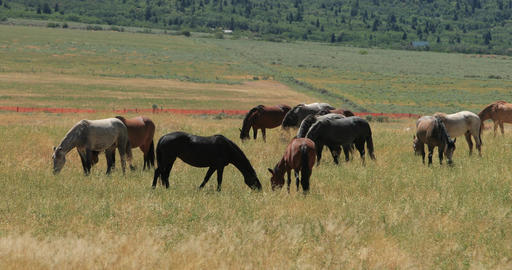 Wild Mustang horse captivity in weed filled pasture DCI 4K Footage