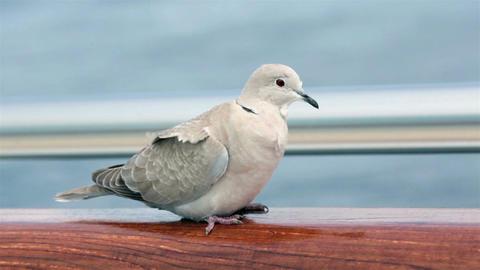 Wildlife bird Mourning Dove windy day HD 7815 Footage