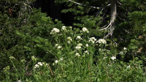 Wildflowers blow in breeze pine forest 4K 049 Footage