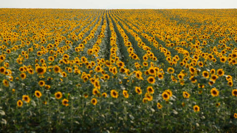 View of sunflower field Footage