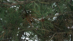 Circular Movement Under A Pine Tree Branches, Green Needles Footage