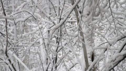 Tree Branches Covered In Snow, Winter Background, Blizzard, Still Shot Footage