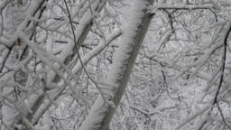 Tree Branches Covered In Snow, Winter Background, Blizzard, Tilt Up Footage