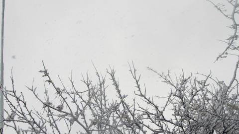 Snow Falling Down Through Tree Branches Covered In Snow, Blizzard, Background Footage