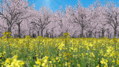 Flying through the canola flower field to the cherry blossom forest _ Blue sky and sun Animation