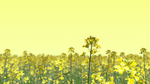 canola flower field landscape, loop _ yellow background Animation