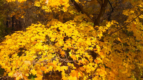 Panorama near autumn yellow maple tree close-up Live Action
