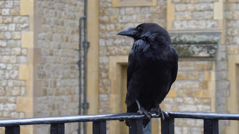 Black Raven at the Tower of London, UK Live Action