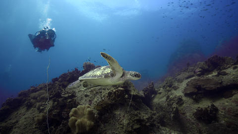 Female SCUBA diving with sea turtle koh tao thailand Live Action