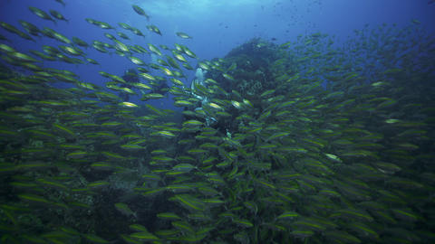 Male SCUBA diver and group with big school of fish and gives awesome signal Live Action