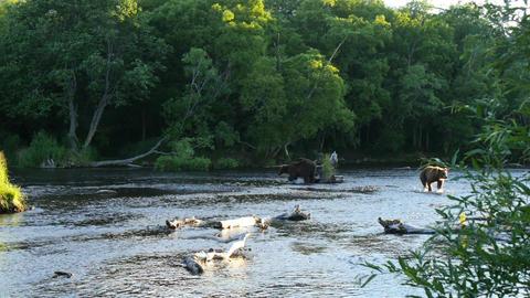 brown bears in scenic river in kamchatka Live Action