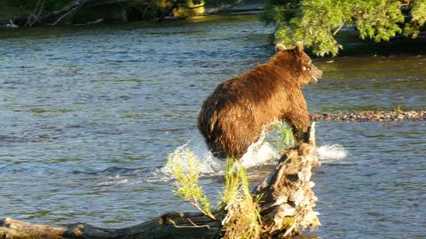 brown bear fishing in Dvukhyurtochnoye river Kamchatka Live Action