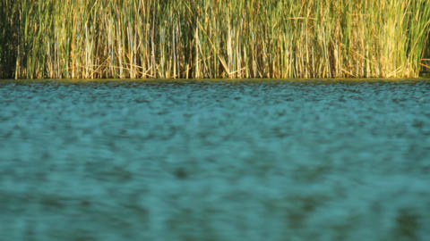 reeds on the lake Footage