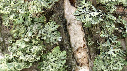 The trunk of an old birch is covered with moss and lichen Background texture Live Action