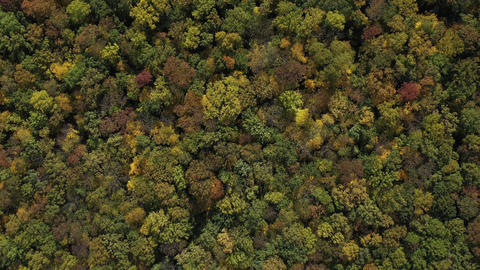 The tops of the trees of the autumn forest, top view in slow motion. Aerial top Live Action