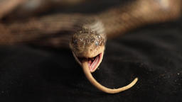 rat snake with rat prey between its jaws Live Action
