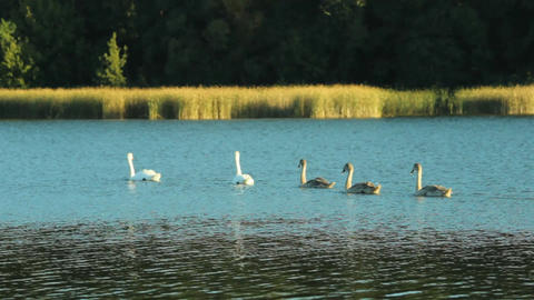 Family of swans on the lake Footage