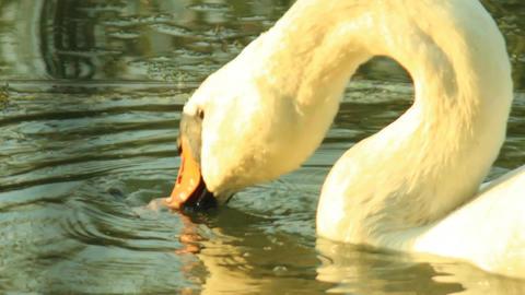 White Swan on the lake Footage