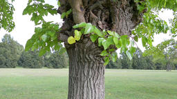Mulberry tree Footage