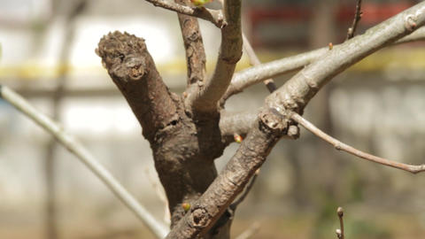 New Fresh Buds On Bush Twigs In Spring Footage