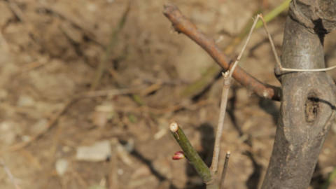 Springtime Twigs And Buds On A Small Tree Footage