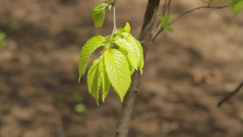 Fresh Yellow-Green Leaves Of The Spring In The Wind Footage