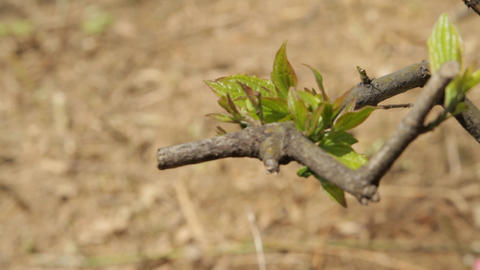 First Fresh Leaves and Buds In Springtime Footage