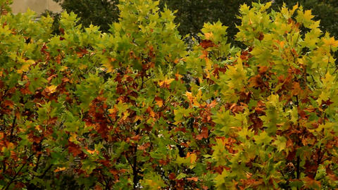 Top Of A Tree On A Rainy And Windy Autumn Day, Late October, Pan Footage