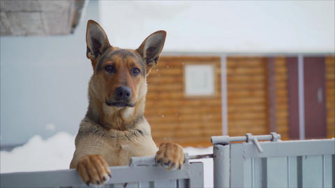 German dog with a funny facial expression. Funny muzzle in the German Shepherd Live Action