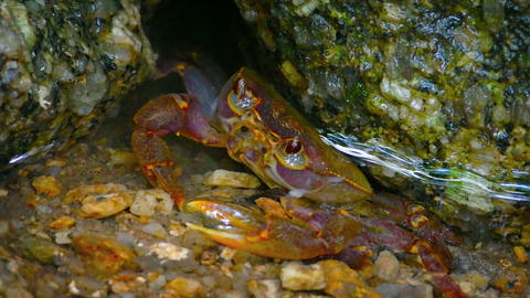 Tiny Crab Hiding amongst the Rocks in a pool. Video Footage