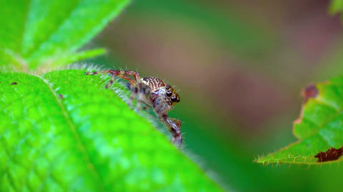 Jumping Spider Waiting in Ambush on a Leaf. FullHD video Footage