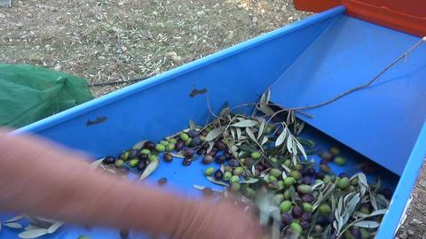 Defoliation of Olives (5)
