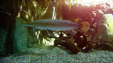 Young Aligator Gar in a Display Tank at a Public Aquarium. FullHD video Live Action