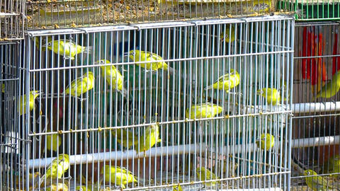 Little yellow birds in a cage. Indonesia. Bali island Live Action