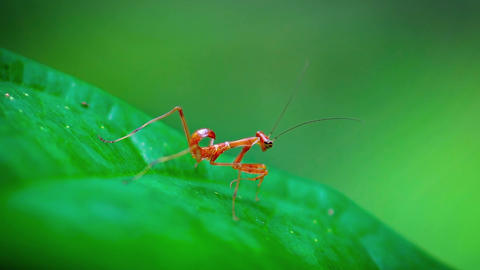 Red. Juvenile Praying Mantis. Sitting on a Leaf. Video Live Action