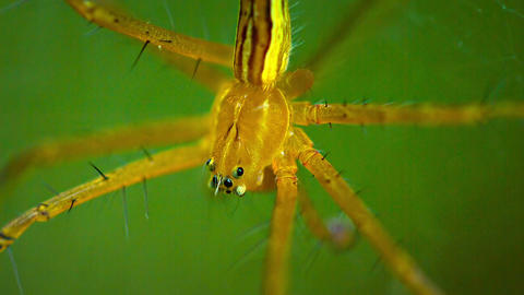Big. Yellow Spider Suspended on her Web. FullHD video Footage