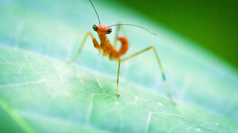 Tiny Juvenile Praying Mantis on a Leaf. FullHD video Live Action