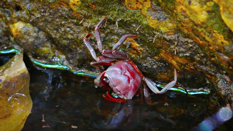 Tiny Waterfall Crab Clinging to a Mossy Rock. FullHD video Footage