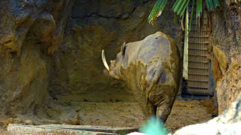 Babirusa in the Mud in a Popular Public Zoo. FullHD video Live Action