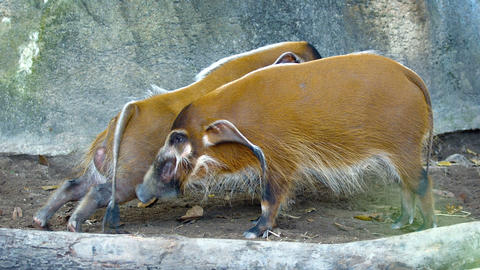 Pair of Red River Hogs in their Zoo Enclosure. FullHD video Live Action