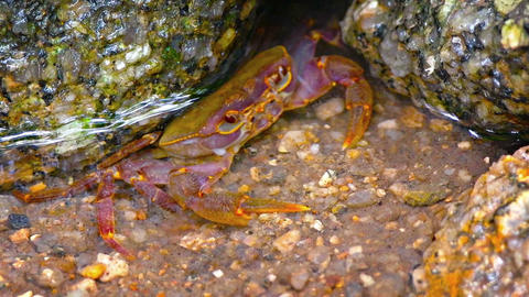 The freshwater crab at his hole in creek. Video FullHD Footage