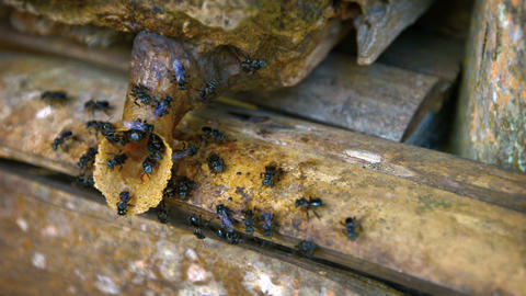 Black Bees Constructing a Hive in Borneo. Malaysia. Video FullHD Footage