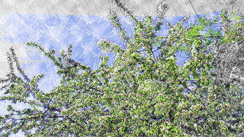 4K Springtime Cherry Tree in Bloom Handdraw Art Animation
