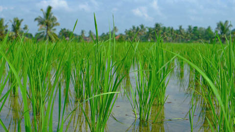 Shoots of Rice in Neat Rows on a Balinese Plantation. Footage Footage