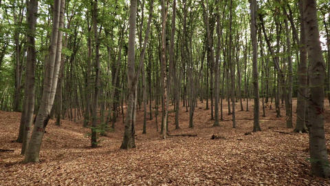 Densely Planted Rows of Trees in a Managed Forest Footage