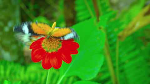 Leopard Lacewing butterfly on the red flower close up Footage