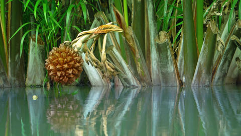 Turtle Peaks out of Water with Nypa fruticans (nipa palm) over Pond. Video 4k Live Action