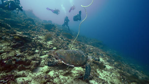 Hawksbill sea turtle swims over coral reef with scuba divers Live Action